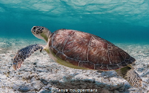 'Going Green' - A green sea turtle drifts through the sha... by Tanya Houppermans