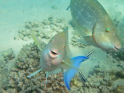 Very cute smiling parrot fish !! Taken with Olympus Mju 3... by Alex Tattersall