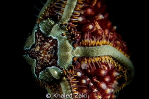 Brittle Sea star by Khaled Zaki