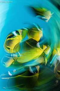 Slow Shutter and Whipped Butter (Butterflyfish) by Tony Cherbas