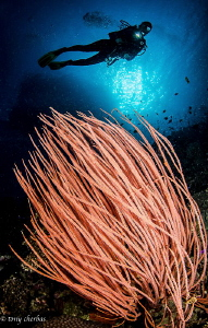 Sea Whip in Kimbe Bay, PNG by Tony Cherbas