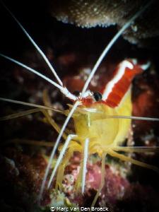 big shrimp. by Marc Van Den Broeck