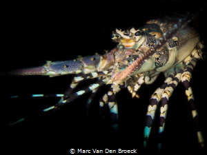 Black lobster by Marc Van Den Broeck