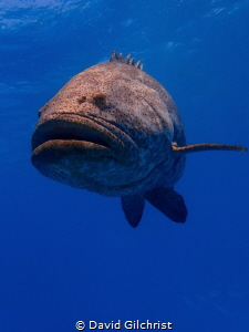 Goliath Grouper, Looe Key Reef by David Gilchrist