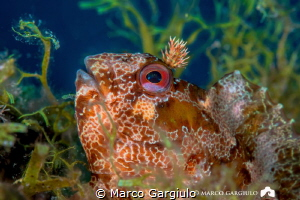 Brown blenny by Marco Gargiulo