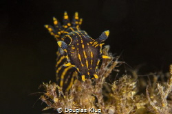 Crowned. Black dorid nudibranch's like this have been a r... by Douglas Klug