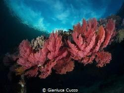 These Gorgonie I've taken in Bangka, North Sulawesi in my... by Gianluca Cucco