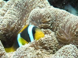 Clown anemonefish @ Sha'ab Rumi, Sudan ( Olympus 8080wz -... by Alvaro Managò