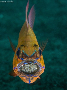 Cookin up some eggs in the grill (Cardinalfish with mouth... by Tony Cherbas