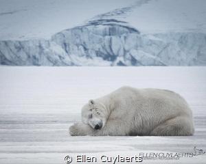 Polar bear sleeping in Svalbard by Ellen Cuylaerts