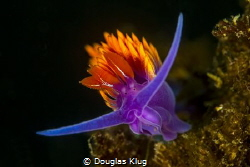 Color. A Spanish Shawl nudibranch brightens the reefs at ... by Douglas Klug
