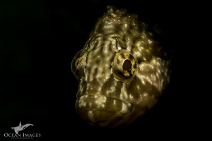Gold Fish This super klipfish was very inquisitive about... by Kate Jonker