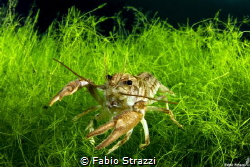 A shrimp in Cornino lake, Italy by Fabio Strazzi