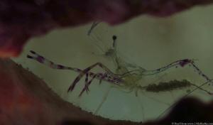 Pederson's shrimp (Ancylomenes pedersoni) by Brad Ryon