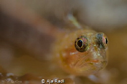 Startled (Peppermint) Goby by Aja Radl