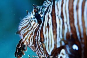 Pointe aux Piments,Mauritius 20m Scorpionfish Jean-Yves ... by Jean-Yves Bignoux