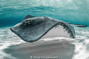 'Surfing the Sandbar' - A southern stingray in the waters... by Tanya Houppermans