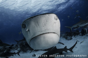 Remember get as close as you can! Tiger Shark Love by Steven Anderson