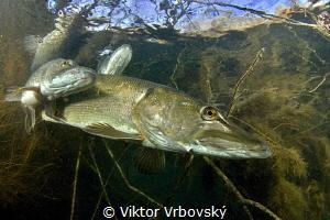 Spawning of northern pike I. by Viktor Vrbovský