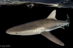 Night Patrol. A Grey Reef shark just below the surface in... by Tony Cherbas