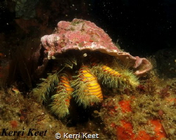 A large Hairy Yellow Hermit crab peers at me from under h... by Kerri Keet