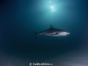 Spotlight. Caribbean Reef Shark swimming under the sun wh... by Sean Chinn