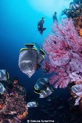 Wrought iron butterflyfish Endemic species in Japan. In... by Daisuke Kurashima
