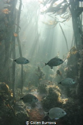 Blacktails in Kelp forest by Collen Burrows