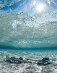 'Catching Some Rays' - Southern stingrays enjoying the wa... by Tanya Houppermans