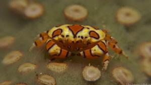 Gaudy Clown Crab (Platypodiella spectabilis) by Brad Ryon