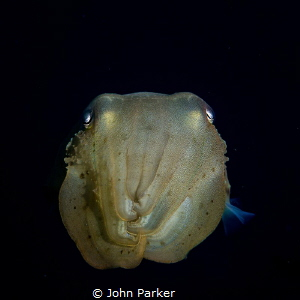 Curious Cuttlefish by John Parker