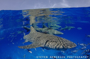 Lemon Shark always offer a great greeting upon our arriva... by Steven Anderson