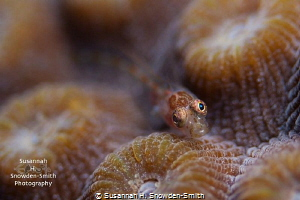A colorful goby models for the camera atop star coral.  I... by Susannah H. Snowden-Smith
