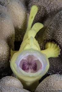 Burp! -Juvenile Painted Frogfish: Frogfish are capable of... by Tony Cherbas