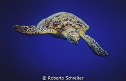 Green sea turtle by Roberto Schreiter