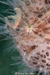 Hairy frogfish by Danny Van Belle