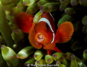 Clown fish with parasitic