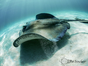 Stingray in flight by Patricia Sinclair