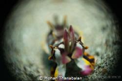 Flamboyant Cuttlefish shot in Reverse Ring Macro. Patienc... by Mohan Thanabalan