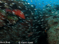 Coral rockcod behind a curtain of glass fish by Kerri Keet