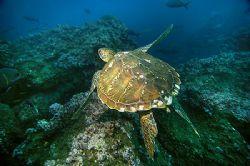 Nikon D2x - Nikon strobe - Sealux housing - turtle by Manfred Bail