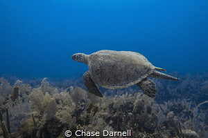 """""""Big Green"""" A large Green Sea Turtle makes its way over ... by Chase Darnell"""