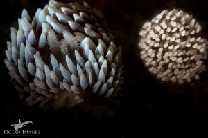 Silvertip with Egg Mass A Cape Silvertip Nudibranch with... by Kate Jonker
