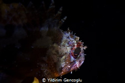 Brown rockfish by Yildirim Gencoglu
