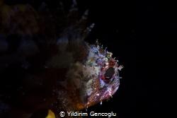 Brown rockfish by Yildirim Gencoglu