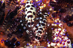 Colmarshrimp by Rudy Janssen