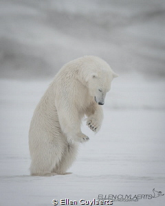 This young male bear attempts to hunt for his first seaso... by Ellen Cuylaerts