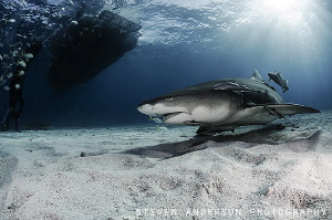 Standing in the shadows and waiting for more sharks to ar... by Steven Anderson
