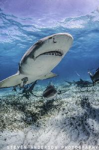 Lemon Sharks on patrol at Tiger Beach - Bahamas by Steven Anderson