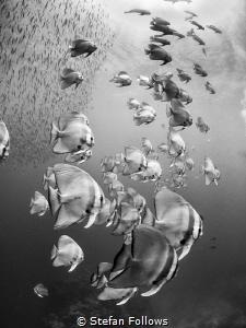 Tower of Power  Longfin Batfish - Platax teira  Sail ... by Stefan Follows